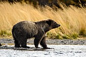 Grizzly bear (Ursus arctos)- Yearling cub wading shallows of the Chilko River, watching for spawning sockeye salmon. Chilcotin Wilderness, British Columbia BC.