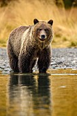 Grizzly bear (Ursus arctos)- Adult hunting sockeye salmon in shallows of the Chilko River. Chilcotin Wilderness, British Columbia BC.