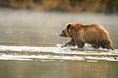 Grizzly bear (Ursus arctos)- First year cub wading in the Chilko River. Chilcotin Wilderness, British Columbia BC.