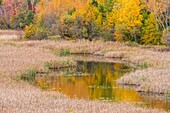 Autumn aspens on a hillside reflected in Lily Creek, Greater Sudbury, Ontario, Canada.