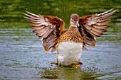 Mallard wild duck, Anas platyrhynchos, female, Hyde Park, England.