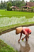 Farmer planting rice in the rice fields surrounding Ubud, central Bali, Indonesia.