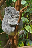 Koala, Phascolarctos cinereus, Mother with Young on Tree, Germany.