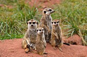 Meerkat, Suricata suricatta, with Young Animal, Family.