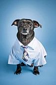 Portrait of a black dog dressed up as an office worker.