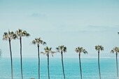 A row of tropical palm trees with the Pacific Ocean in the background, in La Jolla, California