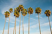 A row of tall palm trees at sunset with a bright blue sky and clouds in the background. San Diego, California, USA.