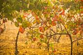 Vineyards in autumn. Almansa. Albacete province. Spain.