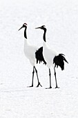 Japanese crane, Red-crowned crane (Grus japonensis), Couple, Japan.