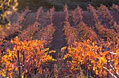 Vineyard in autumn, La Rioja, Alava, Basque Country, Spain, Europe.