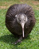 Sparky a North Island Brown Kiwi, Apteryx mantelli, with only one leg after the other had been amputated after it was caught in a gin trap. Whangarei Native Bird Recovery Centre. Whangarei, New Zealand.