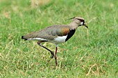 Southern lapwing (Vanellus chilensis). Costa Rica.