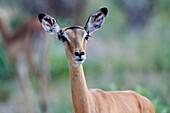 Impala female (Aepyceros melampus) in alert. Hwange National Park, Zimbabwe.