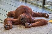 Orang utan, Semenggoh Wildlife Centre, Sarawak, Malaysia.