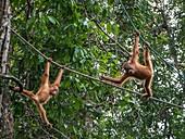 Orang utans, Semenggoh Wildlife Centre, Sarawak, Malaysia.