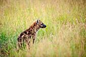 Masai Mara National Reserve, Kenya, Africa. An spotted hyena cub (Crocuta crocuta).