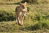 Masai Mara Park, Kenya, Africa.