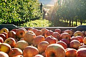 Europe, Italy, Trentino South Tyrol, Non Valley. Chest of fujin apples and on background a group of farmers picking apples.