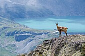 Chamois on a rocky slope (Valle dell'Orco, Gran Paradiso National Park, Piedmont, Italy).