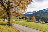 Autumnal cherry tree on the road and Odle Dolomites in the background. Santa Maddalena, Funes, Bolzano, Trentino Alto Adige - Sudtirol, Italy, Europe.