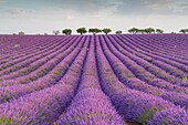 Lavender raws and trees. Plateau de Valensole, Alpes-de-Haute-Provence, Provence-Alpes-Cote d'Azur, France, Europe.