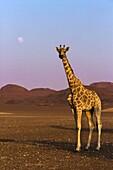 Lonely desert giraffe in Purros desert, Namibia.