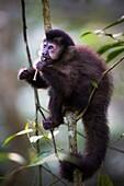 A capuchin monkey in Iguazù falls National Park, Northern Argentina.