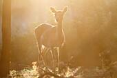 Tuscan, Italy. Roe Deer.