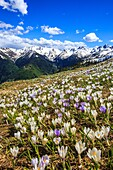 Flowering Crocus with views of the peaks of Valgerola. Valtellina. Lombardy. Italy. Europe.
