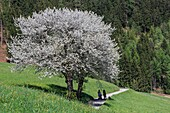 Tourists walk among flowering trees and green meadows. Funes Valley. South Tyrol Dolomites Italy Europe.