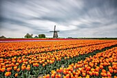 Spring clouds on fields of multicolored tulips and windmill Berkmeer Koggenland North Holland Netherlands Europe.