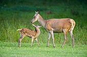 Red deer, Cervus elaphus, Female with Fawn.