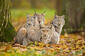 Eurasian Lynx, Lynx lynx, Female with Three Kittens, Germany, Europe.