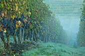 Early morning in the Nebbiola grapevines of Barolo, Piemonte, Italy.
