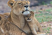 Lioness and a lion cub cuddling together on the savanna in Masai mara, Kenya, Africa.