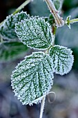 Detail of frost ice crystals on green winter leaves, shot in Stuttgart, Germany.