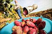 Male picking prickly pears with a ingenious tool. Canosa DP, Puglia. Italy.