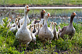 Domestic geese with chicks, Bulgaria, Europe