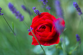 red rose with lavender, Germany