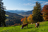 view from the southern slope of the Sonntraten mountain into Isar Valley, to Brauneck and Karwendel mountains, cows, Alps, Upper Bavaria, Germany, Europe
