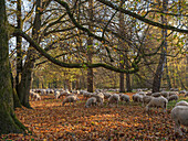 Flock of sheep grazing in Autumn leaves in the northern part of the Englischer Garten, Munich, Upper Bavaria, Germany