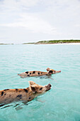 EXUMA, Bahamas. Swimming pigs at Big Major Cay.