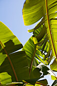 FRENCH POLYNESIA, Moorea. Banana leaves in the sun.