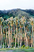 FRENCH POLYNESIA, Moorea. Blurred coconut trees.