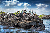 GALAPAGOS ISLANDS, ECUADOR, Isabela Island, blue footed boobies hang out on the rocks near Elisabeth Bay
