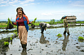 INDONESIA, Flores, women plant rice shoots in a field in Narang village