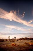 MEXICO, Baja, Magdalena Bay, Pacific Ocean, the beautiful cactus landscape near Magdalena Bay