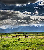 USA, Oregon, Enterprise, horses dry off after the rain stops, the Snyer Ranch in Northeast Oregon, looking towards the Eagle Cap Wilderness and the Wallowa Mountains, Wallowa-Whitman National Forest