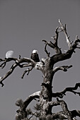 USA, Utah, bald eagle in an old tree with the moon, Rte 9, the Zion-Mount Carmel Highway (B&W)