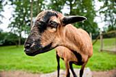 goat, zoo, Haag, Salaberg, Austria, Europe